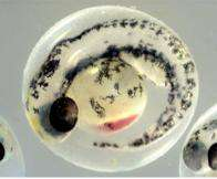 Zebrafish embryo
