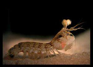 The mantis shrimp, Odontodactylus latirostris