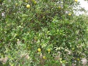 A citrus tree afflicted with the citrus greening disease