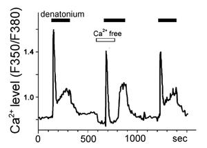 A bitter substance denatonium increases calcium levels in a taste cell