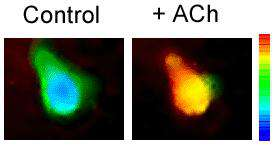 Pseudo color images of Ca2+ levels in a taste receptor cell.