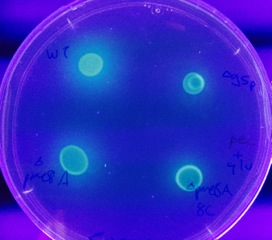 Four bacterial cultures in petri dish.
